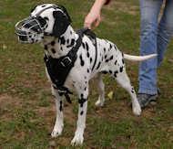 Dalmatian dog muzzle