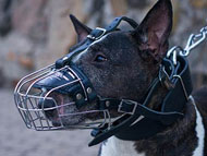 English Bull Terrier muzzle
