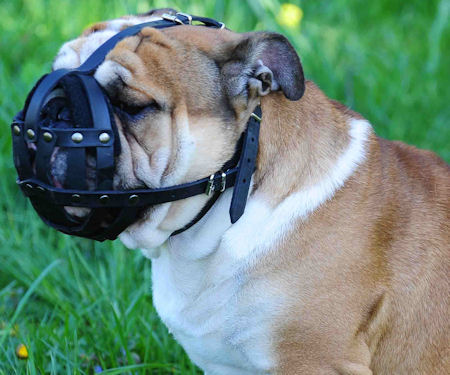 leather dog muzzle for English Vulldog - Padde dog muzzle