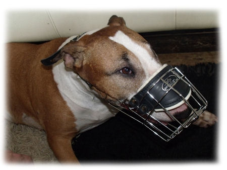 Bull Terrier Wire Muzzle for EVERY DAY-Basket Dog Muzzle