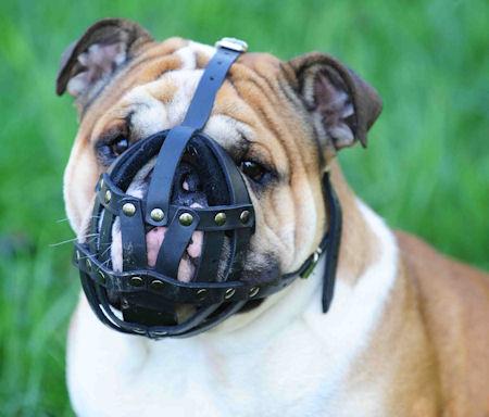 English Bulldog leather dog muzzle