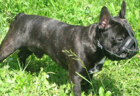 French-bulldog muzzle